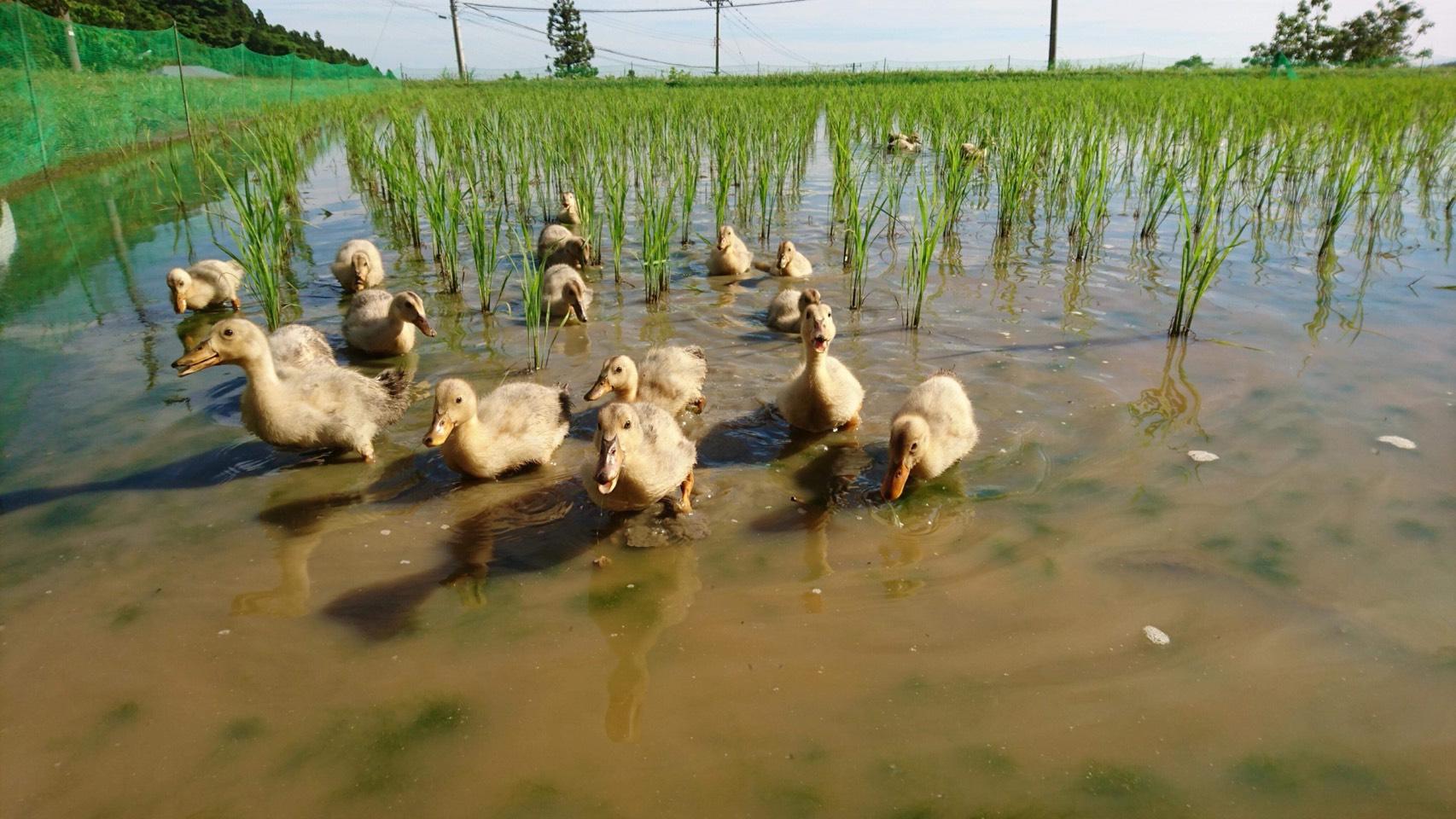アイガモ農法